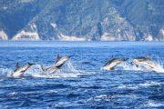 dolphins-sao-miguel